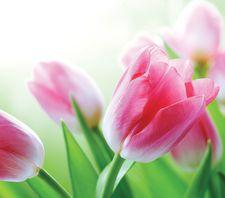 tulipan_viragterapia