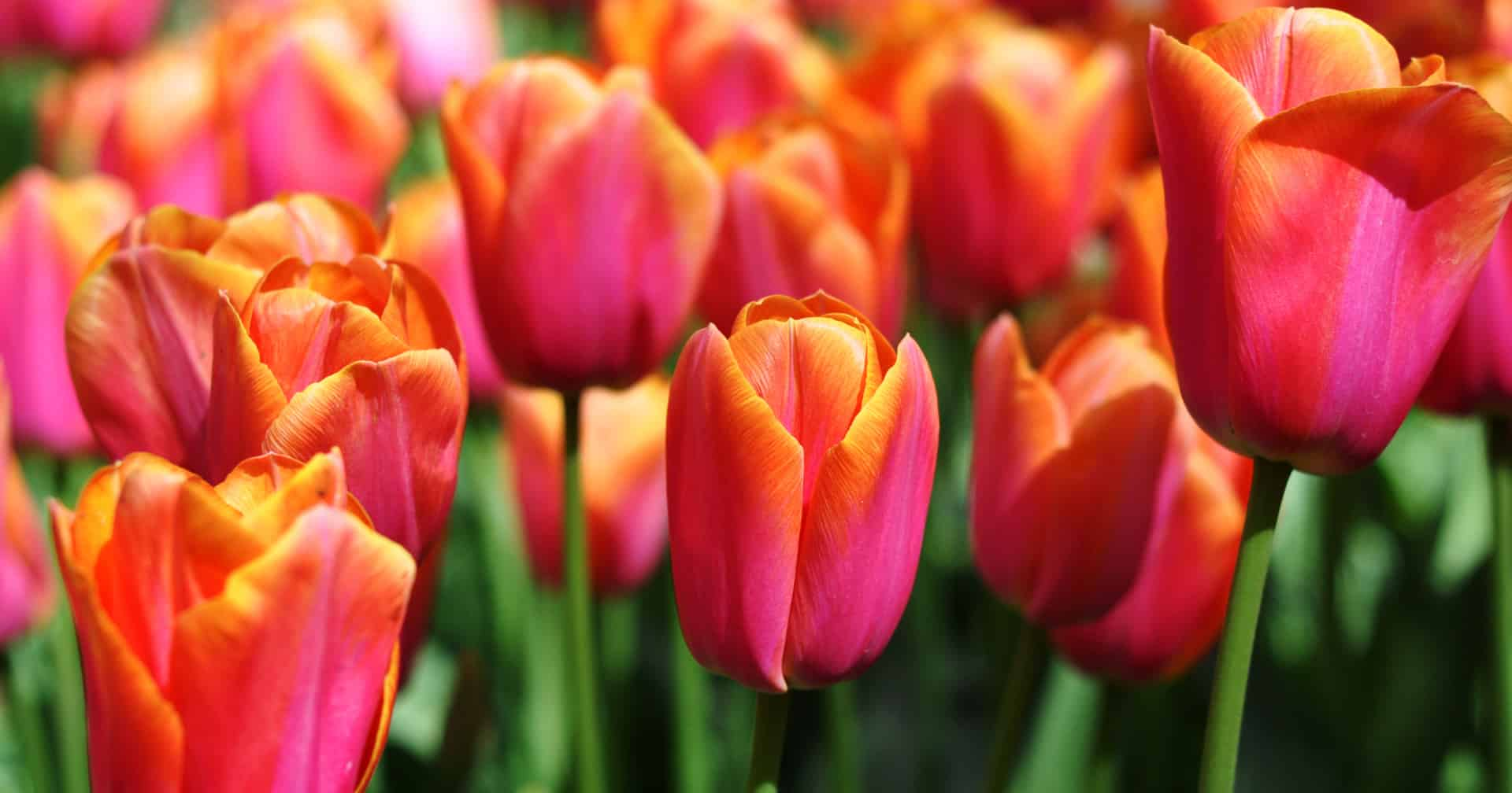 virag tulipan